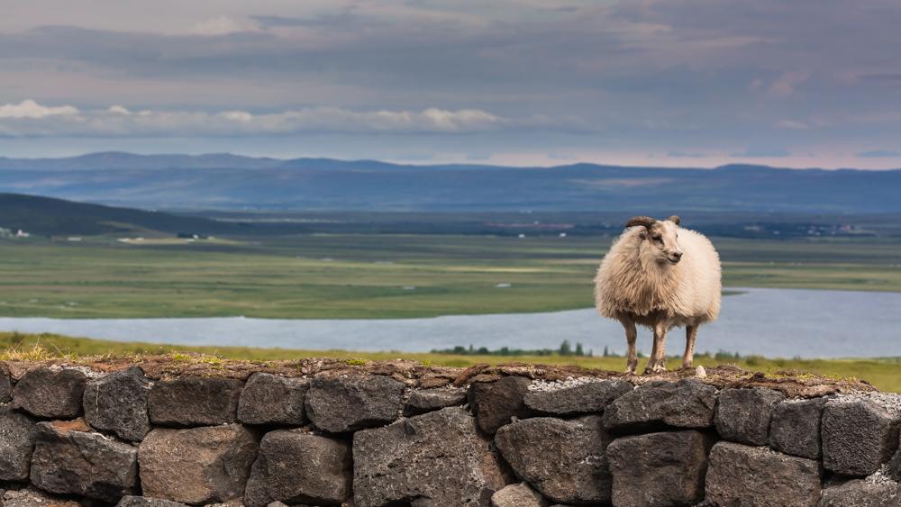 Labai draugiška avis pakeliui į Reykjavik