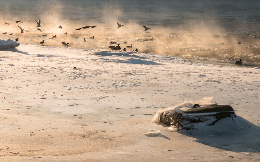Nemuno pakrantė sausio 22 d. Šiandien paukščiai tūpinėjo ant ledo lyčių, o aš iki šios vietos jau nebesugebėjau prieiti.