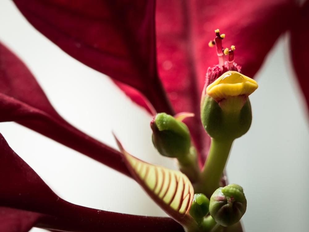 Laukianti bučinio. Euphorbia pulcherrima