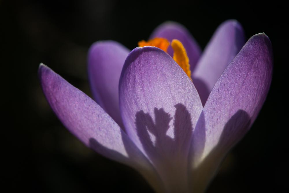 Žydintys šešėliai