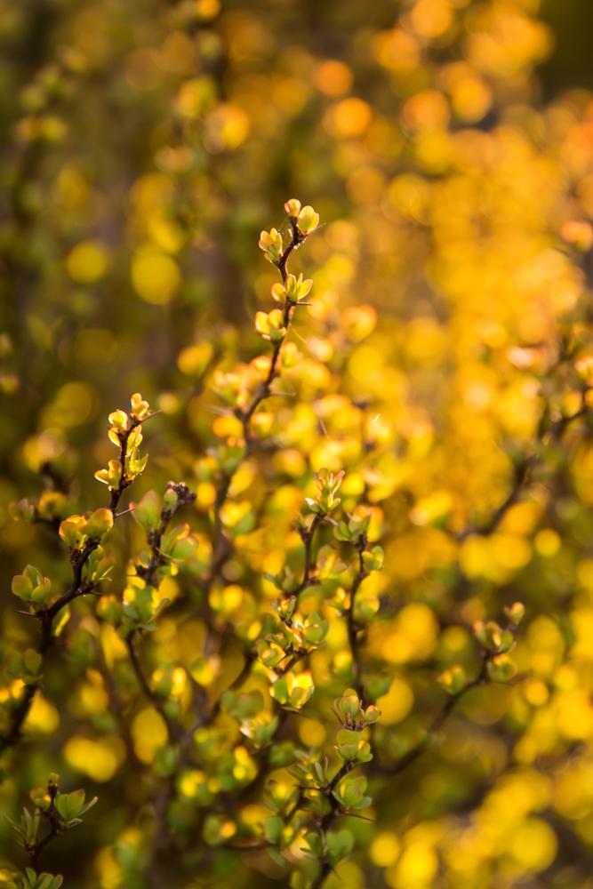 Pavasario auksas. Berberis thunbergii 'Bonanza Gold'