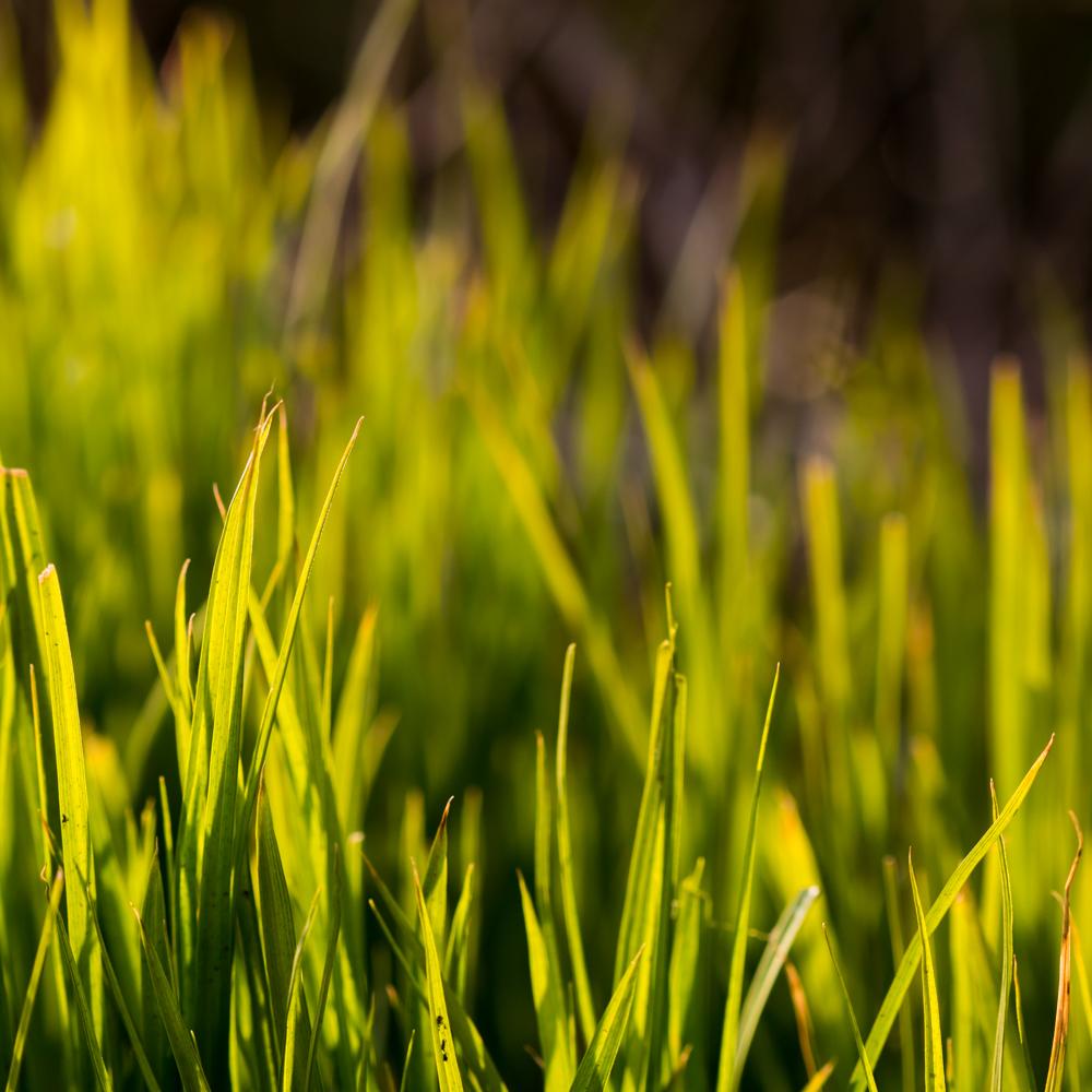 Pavasario tekstūros. Palminės viksva (Carex muskingumensis) 'Oehme'