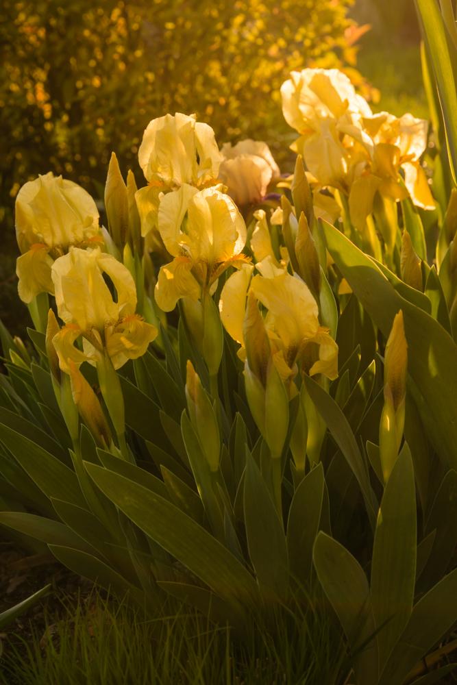Pavasario žibintai. Iris.