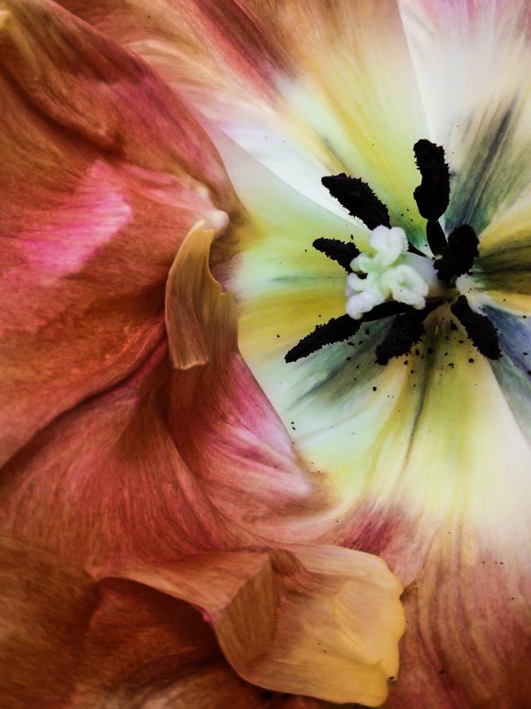Papūginė tulpė. Šį kartą ne iš mano sodo. Mobilografija.