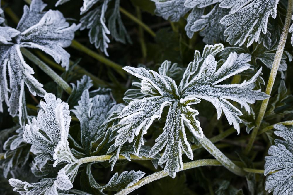 Šalto ryto barokas. Geranium pratense 'Splish Splash'