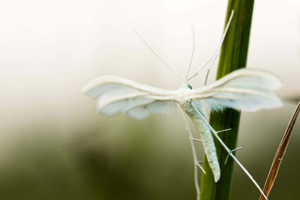 Kai atidžiau pažiūri į pievą... Baltasis pirštasparnis  (Pterophorus pentadactyla)