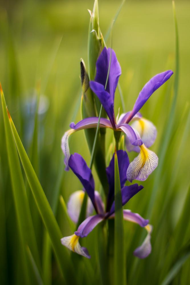Iris spuria 'Farolito'