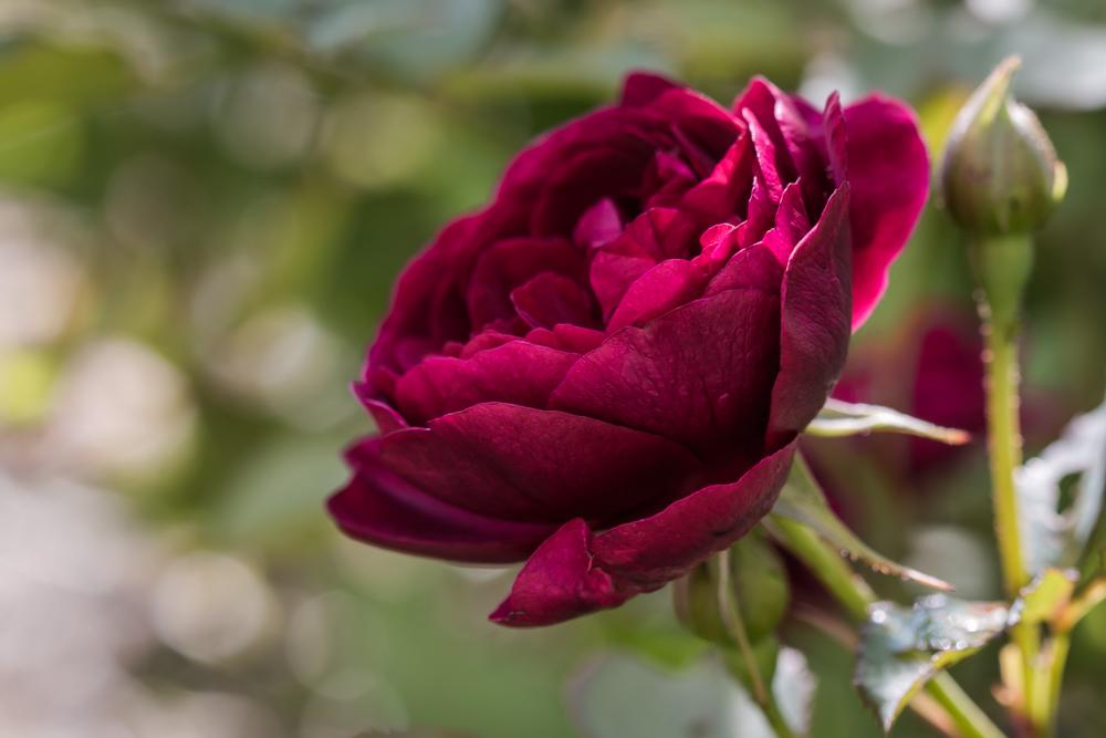 Apie karalienes. Rosa 'Darcey Bussell'