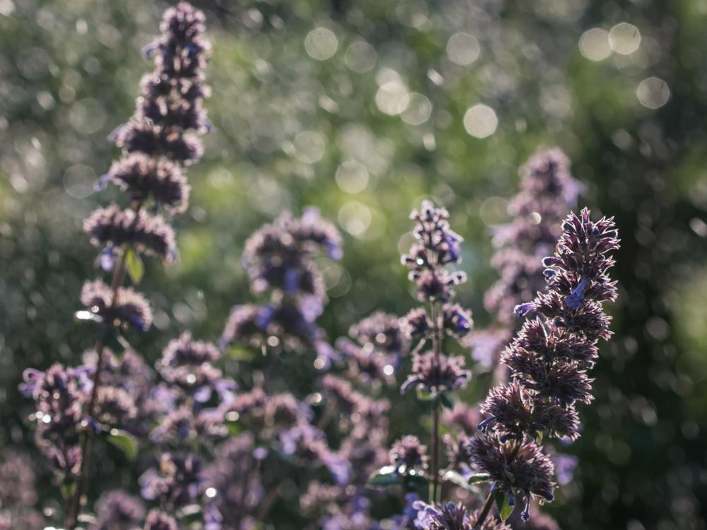 Karštos dienos leidžia pasidžiaugti laistyklės kuriamais stebuklais. Nepeta grandiflora 'Bramdean'
