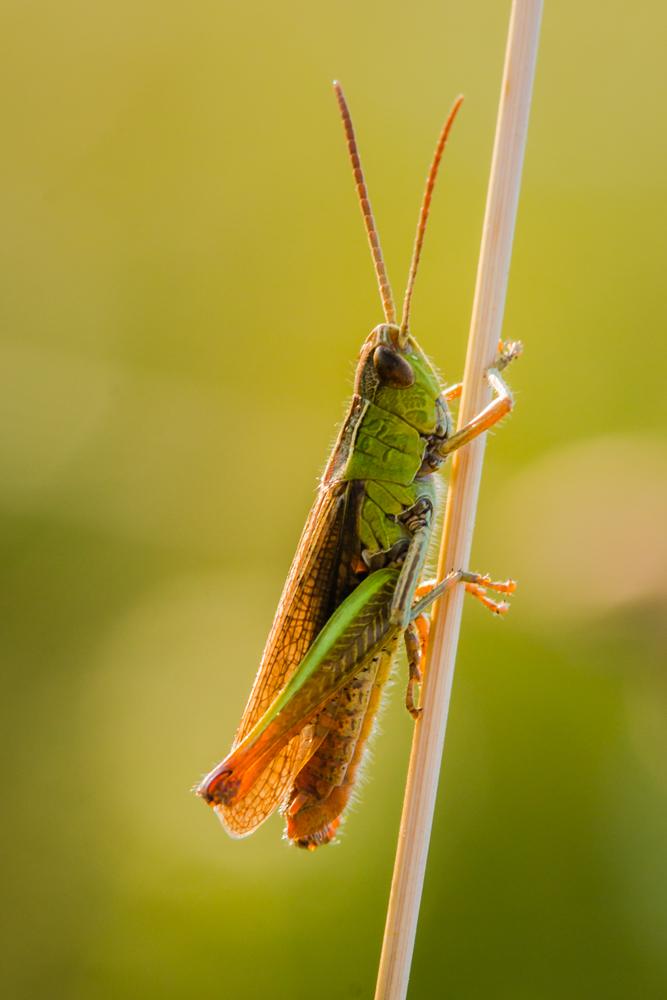 Žaliasis žiogas (Tettigonia viridissima)