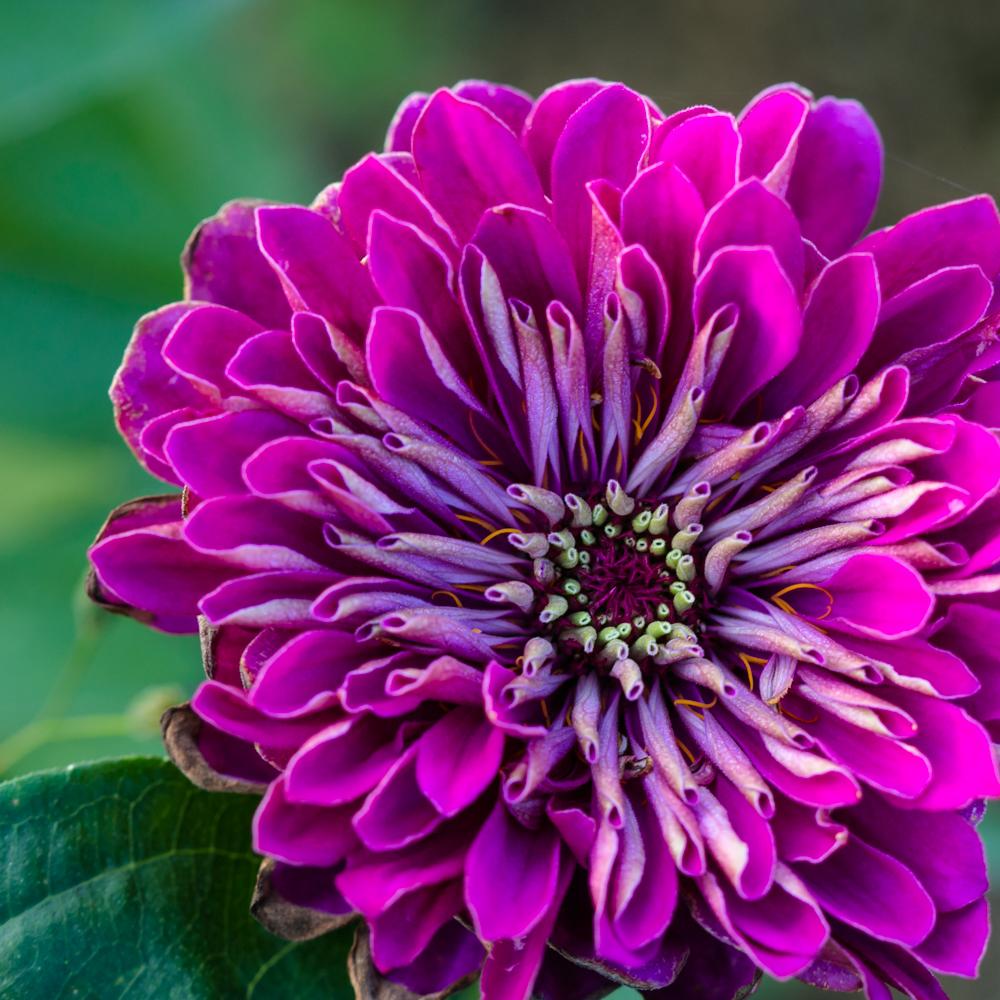 Rozetė. Zinnia elegans 'Purple Prince'