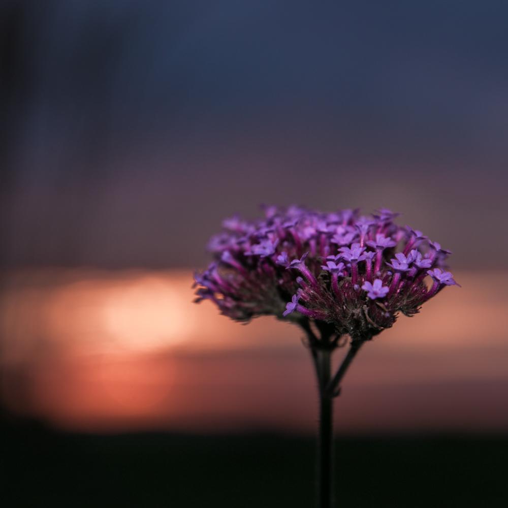 Verbenos (Verbena bonariensis) ir saulėlydis