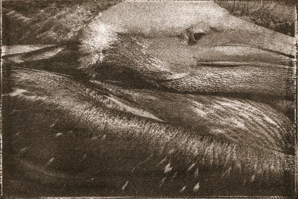 Vienas kvadratas pelikano. Gumoil antspaudas. Šį kartą norėjosi išbandyti gumoil detalumo galimybes.