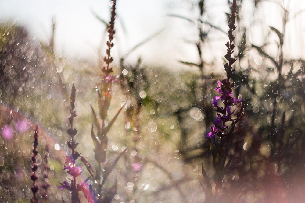 Šiandien laisčiau sodą ir stebėjau lašuose žaidžiančias vaivorykštes.  O kai į jas pažvelgi per Helios 44-2, kasdienybė pasislepia. Lythrum virgatum 'Dropmore purple'.