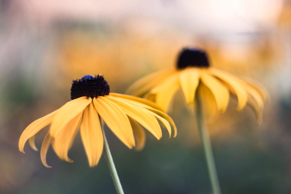 Kai geltonos daugiau nei telpa į žiedus... Rudbeckia fulgida 'Goldsturm'